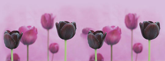 Purple Tulips Facebook Cover